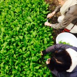 Cutting the spinach for our Yoga & Dine main course, tonight!